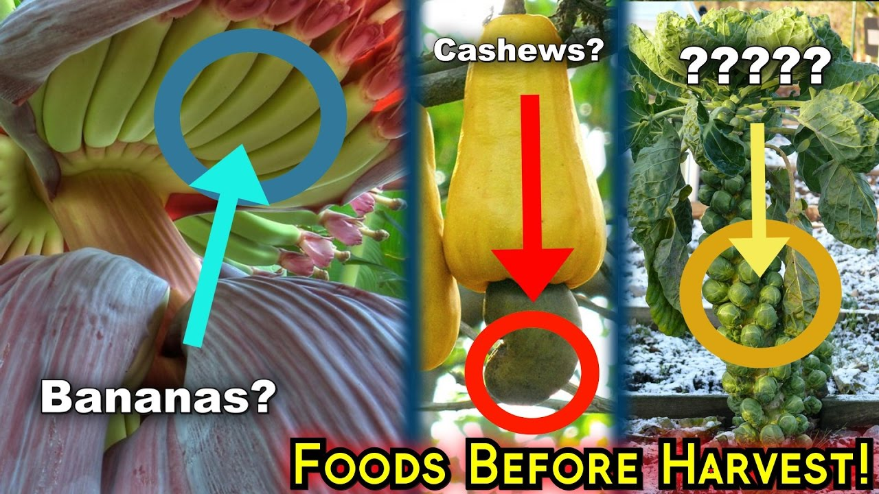 This is how the food looks before it is harvested (15+ Pics)