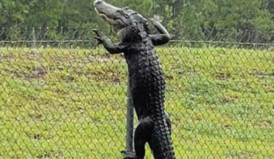Caught On Camera - Alligator Climbing Fence